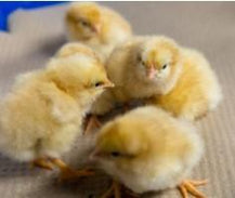 Townline Hatchery Buff Orpington Chicks