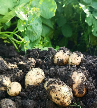 Growing Potatoes | Chtting | January Garden Tips
