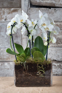 Winter White Phalaenopsis Orchid