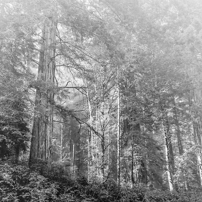 10x10 Matted Black and White Photography - Redwoods National Forest