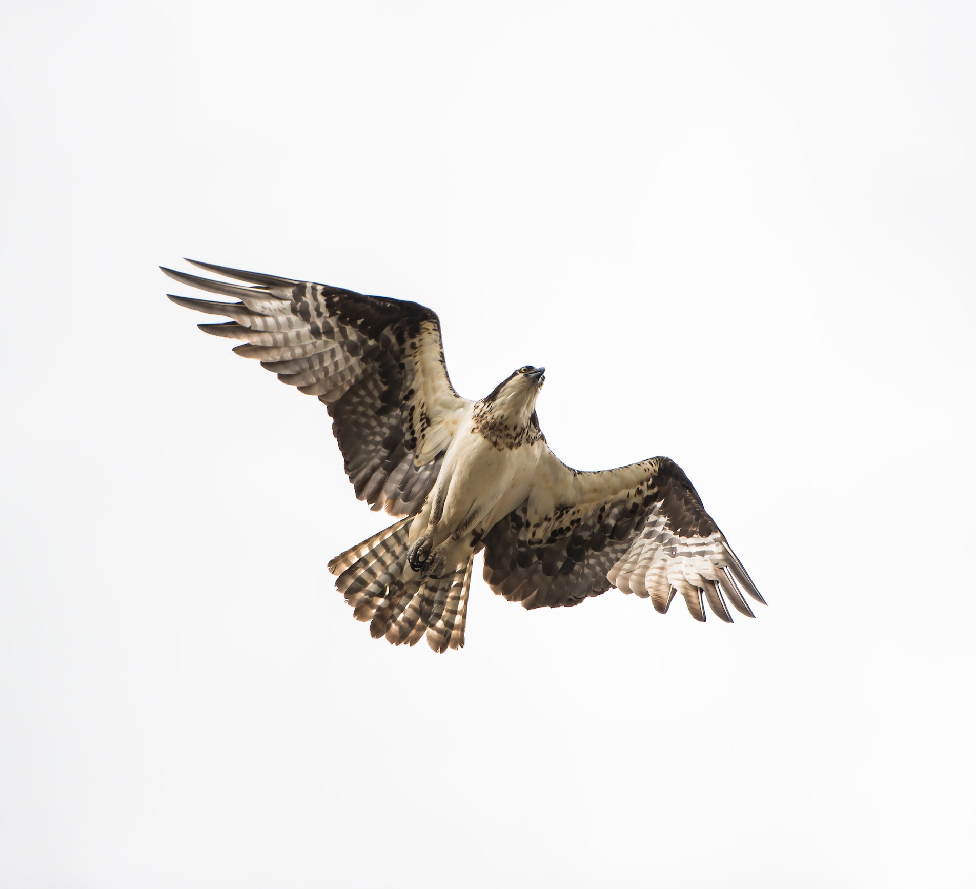 Osprey, Photograph