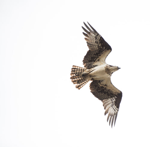 Square Mounted Photograph - Osprey in Flight Part Two