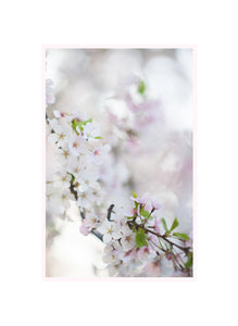 Sakura (Cherry Blossom) Print - Set of 3