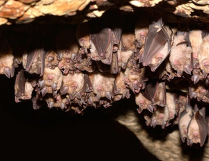 Continual surveillance of natural bats for emerging viruses is needed