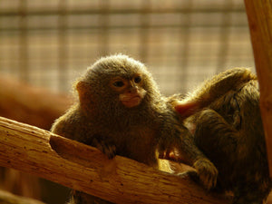 Optical stimulation causes marmosets to move their forelimbs