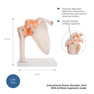 66fit Human Shoulder Joint Anatomical Model
