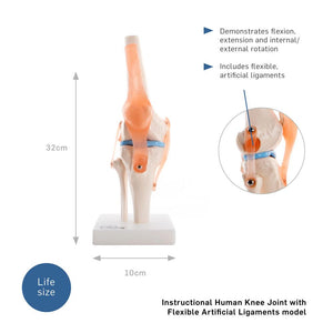 66fit Human Knee Joint Anatomical Model