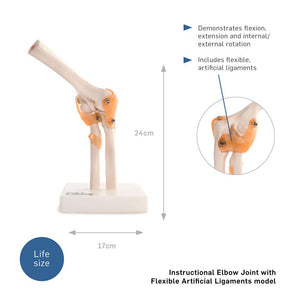 66fit Elbow Joint Anatomical Model
