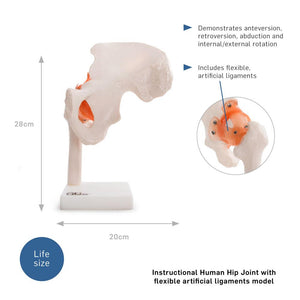 66fit Human Hip Joint Anatomical Model