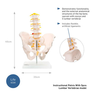 66fit Anatomical Pelvis With 5pcs Lumbar Vertebrae
