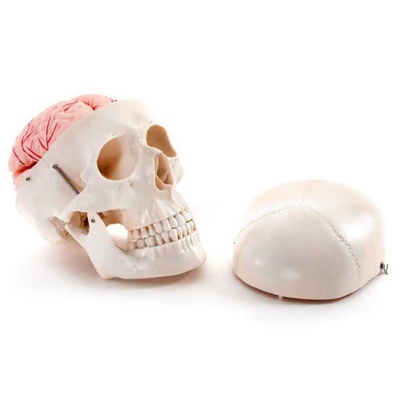 66fit Deluxe Life Size Human Skull with 8 Part Brain Anatomical Model