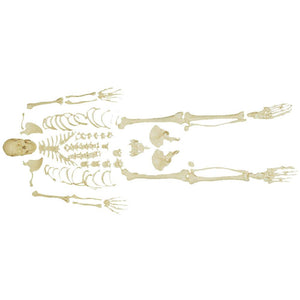 66fit Disarticulated Skeleton with Skull
