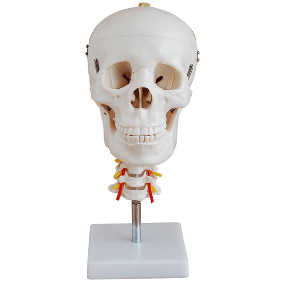66fit Skull with Cervical Spine Anatomical Model