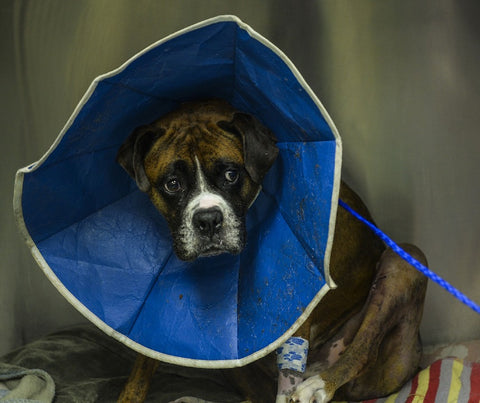 Boxer at the vet office wearing a blue cone after having bloodwork done.