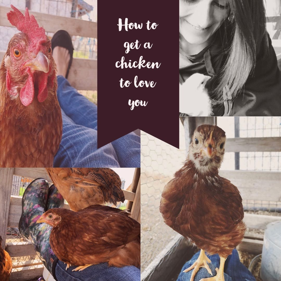 How to get a chicken to love you