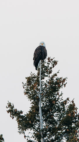 Bald Eagle spotted in Alton, Illinoise