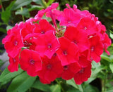 100 Mixed Colors Drummond Phlox Mix Pink, Red, & White Phlox Drummondii Flower Seeds