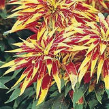 150 Tricolor Amaranthus Perfecta (Summer Poinsettia/Joseph'S Coat) Flower Seeds