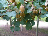 100 Kiwi Fruit Kiwi Actinidia Vine Seeds (Kiwifruit / Hardy Kiwi / Tara Vine / Yang Tao / Chinese Gooseberry / Chinese Strawberry)