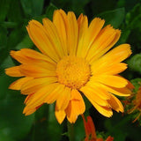 100 Orange English Marigold (Scotch / Pot Marigold) Calendula Officinalis Flower Seeds By Seedville