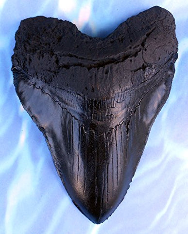 Massive 6-Inch Megalodon Shark Tooth, With Serrations