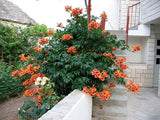 25 Orange Hummingbird Trumpet Creeper Campsis Radicans Vine Flower Seeds By Seedville