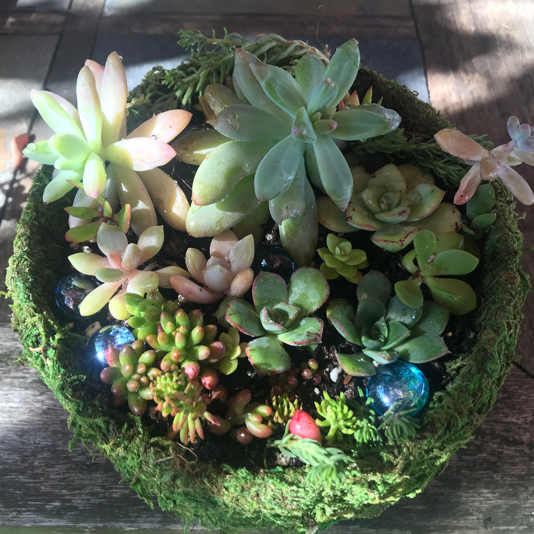 Planted Succulents w/ Delivery (Scotia - Loleta)