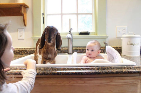 tucker and goat in sink