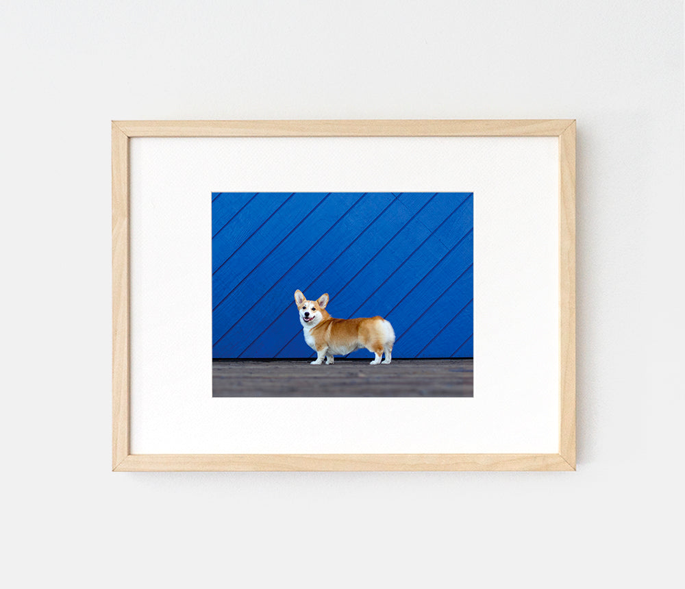 Print of corgi posing in front of a blue wall by LaCorgi.