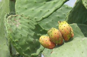 Is Cactus a fruit or vegetable?