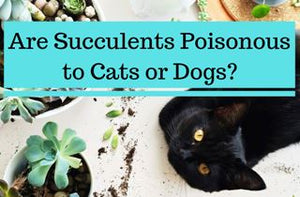 Are Succulents Poisonous to Cats or Dogs?
