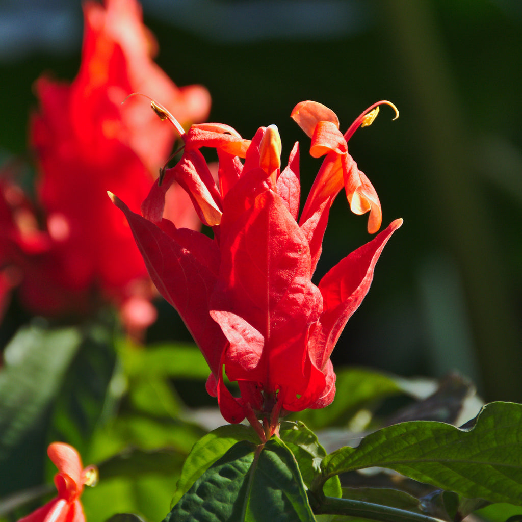 Red Pachystachys Shrimp Plant Flowering