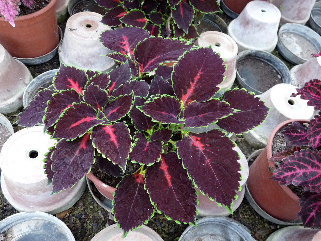 Rex Begonia Houseplants With Purple Leaves