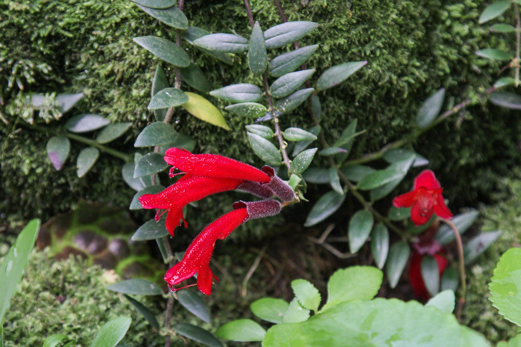 Red Aeschynanthus Radicans Lipstick Plant Flowering