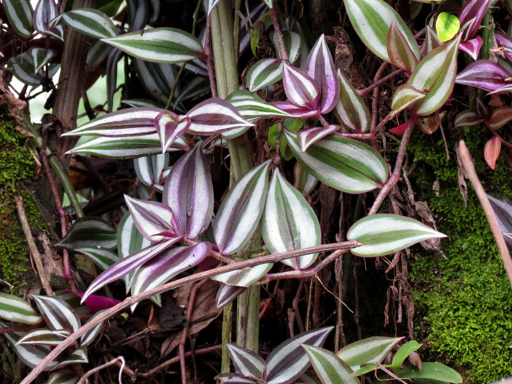 Tradescantia Wandering Jew Houseplants With Purple Leaves
