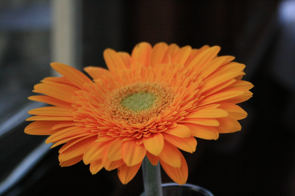 Barberton Daisy Houseplants To Improve Indoor Air Quality