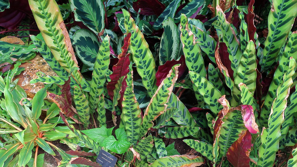 Calathea Houseplants With Purple Leaves