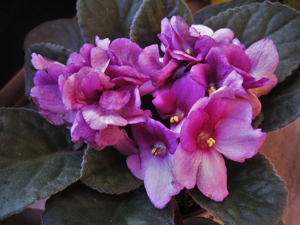 African Violets Thriving High Humidity