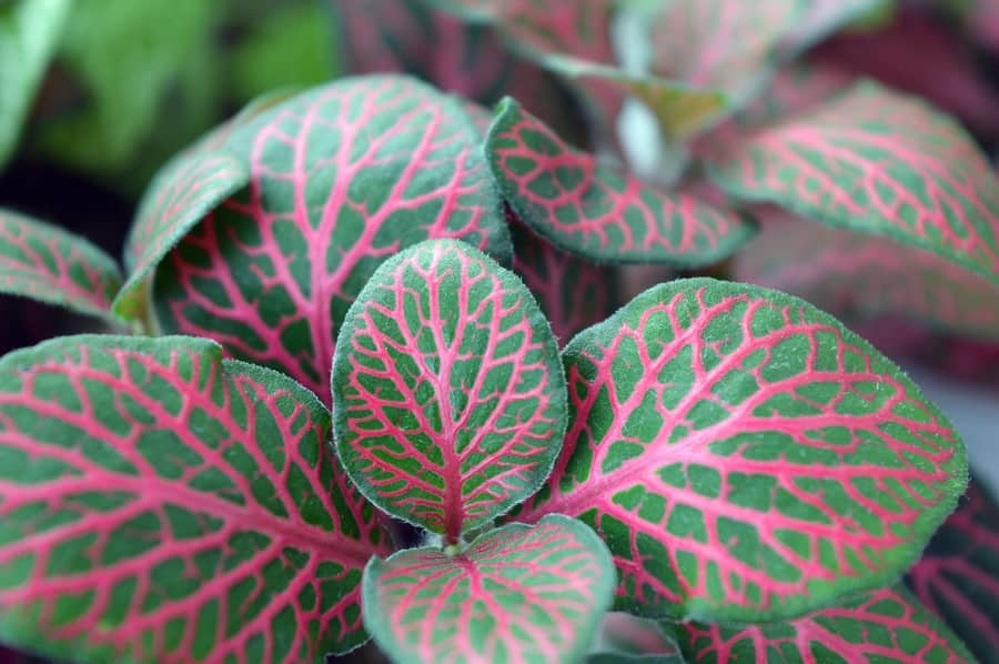 7 Easy to Grow Houseplants For Absolute Beginners Fittonia