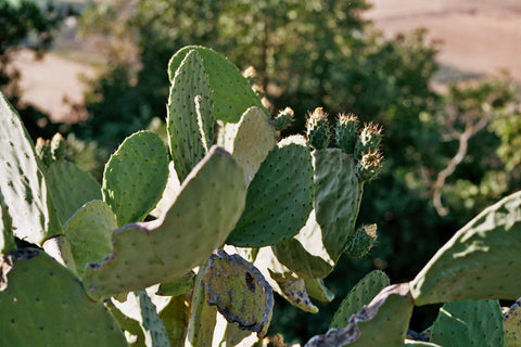 Prickly Pear Cactus Vegetable Or Fruit