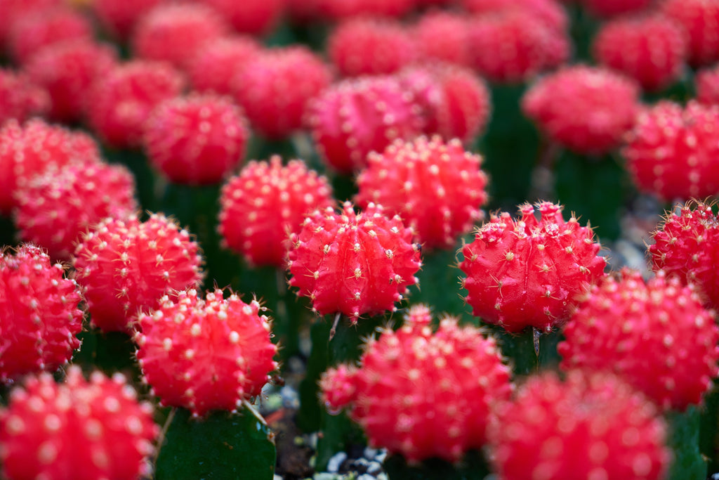 Red Ruby Ball Cactus