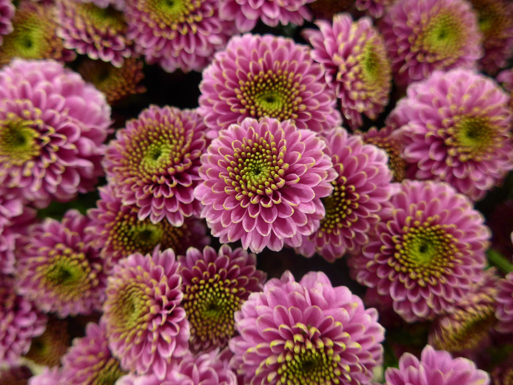 Florists Chrysanthemum Houseplants To Improve Indoor Air Quality