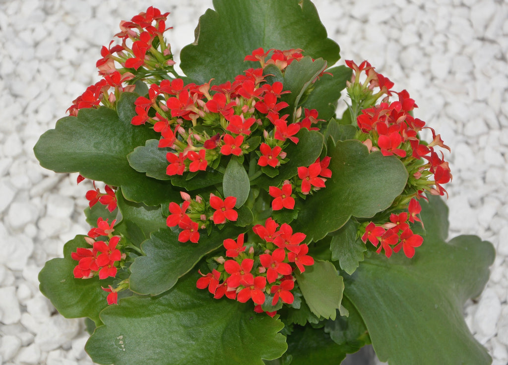 Red Kalanchoe flowering