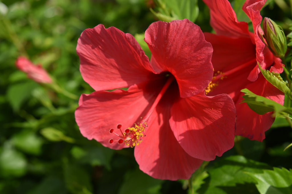 Red Hibiscus Flowering