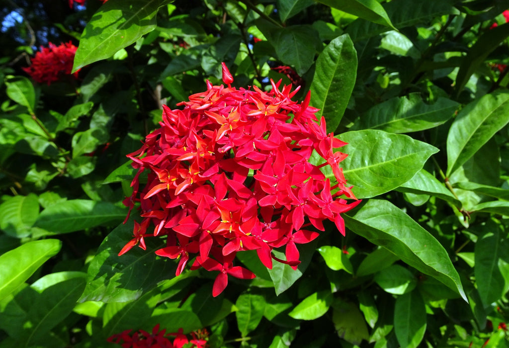Ixora Coccinea Flame of the woods flower