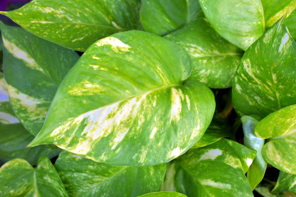 Devils Ivy Houseplants To Improve Indoor Air Quality