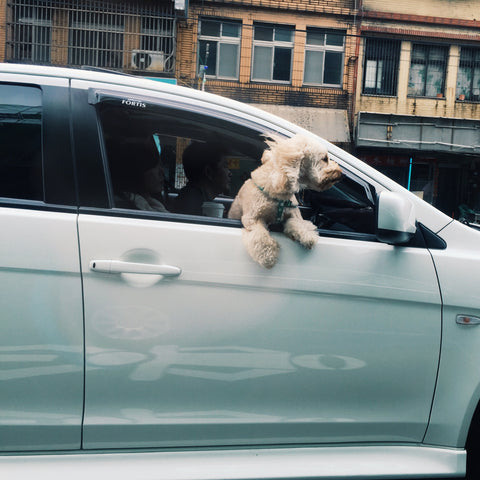 Dog sticking his head out of car - dangerous