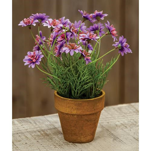 Potted Star Daisy Lavender
