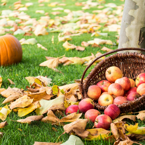 Apples in a basket and a pumpkin on the ground with fallen brown leaves around it