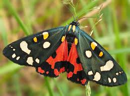 The Scarlet Tiger Moth